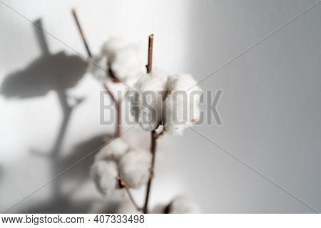 Beautiful Cotton Branch. Delicate White Cotton Flowers.