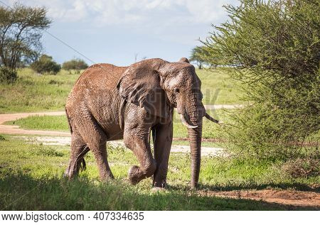 Lonely Young Bush Elephant Portrait In The Tarangire National Park, Tanzania. African Savanna Elepha