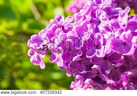 Spring lilac flowers, spring flower background, spring lilac blooming, spring garden in bloom, spring lilac flowers, spring park in sunny day. Spring flowers of lilac, lilac flowers in the spring garde, spring flower background, spring blossom