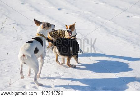 Basenji Dog Wearing Winter Coat  Fighting Off With Two Bigger Mixed Breed Black And White Dogs On Fr