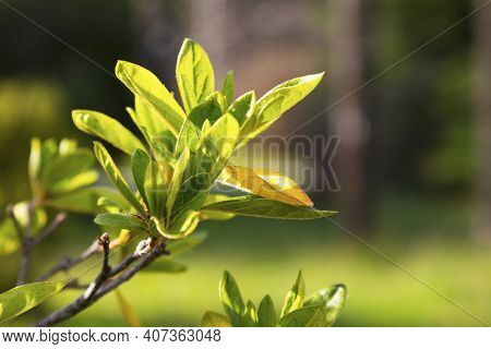 Azalea Leaf, A Sprig Of An Azalea Bush, Without Flowers. Young Light Green Foliage, Early Spring