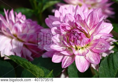 Summer Sunny Day After A Rain. A Smart Damp Flower A Dahlia With Motley Petals In Purple Tones.