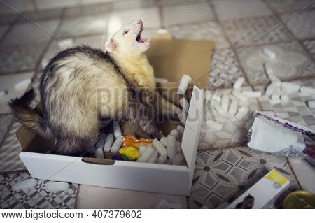 Young Ferret Plays In The Play Box. Curious Animal Pet In Home With Toys