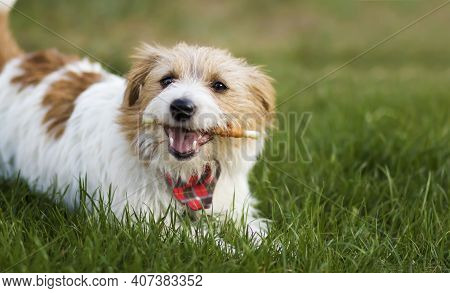 Healthy Cute Happy Pet Dog Chewing Dental Snack Treat, Cleaning Plaque From His Teeth. Tartar Preven