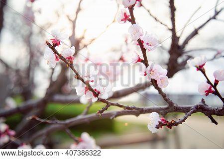 Sakura Or Cherry Blossom Or Japanese Cherry