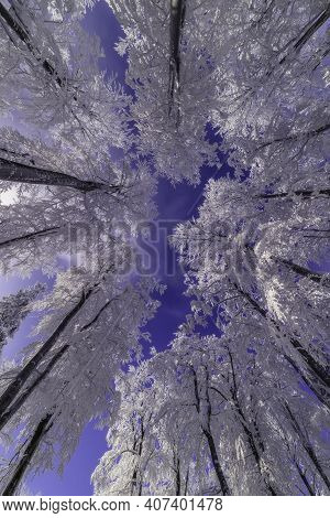 View Of The Winter Crowns Of Beech Trees