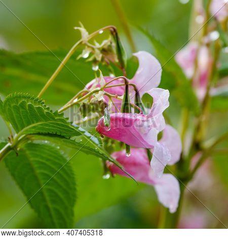 Himalayan Balsam Is Beautiful Large Flowering Plant