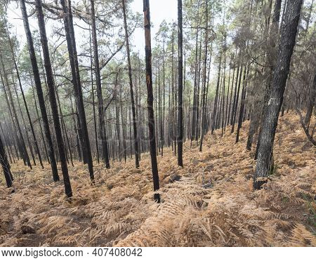 Mysterious Foggy Forest At Nature Park Tamadaba Year After Wildfire, Partially Burnt Canary Pine Tre