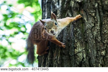 Portrait Of A Curious Squirrel. Squirrel Looks Into The Camera Lens