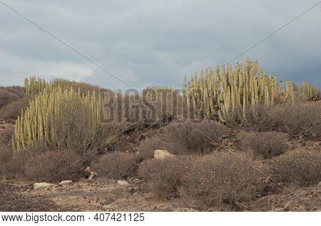 Canary Island Spurges Euphorbia Canariensis And Balsam Spurges Euphorbia Balsamifera. El Fraile. Aro