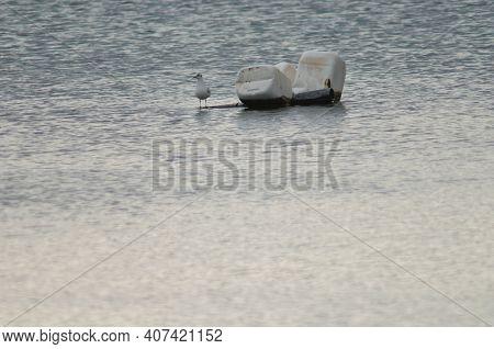 Black-headed Gull Chroicocephalus Ridibundus Next To Plastic Carafes. Winter Plumage. El Fraile Lago