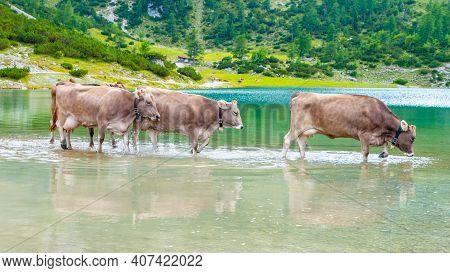 Three Alpine Cows Standing In The Alpine Lake, Austria