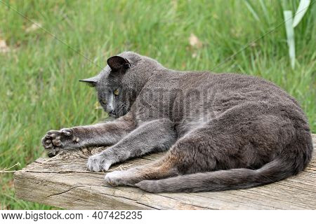 Grey Cat Lying Down, Playing With A Piece Of Dry Grass, On A Rustic Wooden Plank Seat With A Tall Gr