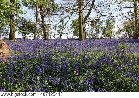Spring Woodland With Bluebell, Hyacinthoides Non Scripta, Flowers On The Woodland Floor With Broadle