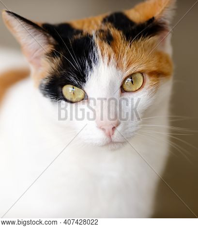 A Calico Tortoise Shell Cat Is Looking At The Camera