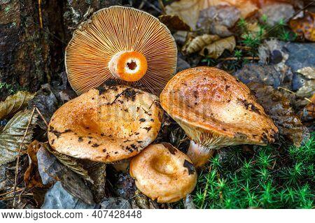 Saffron Milk Cap (lactarius Deliciosus) Mushroom. Aka Red Pine Mushrooms Aka Lactarius Deliciosus In