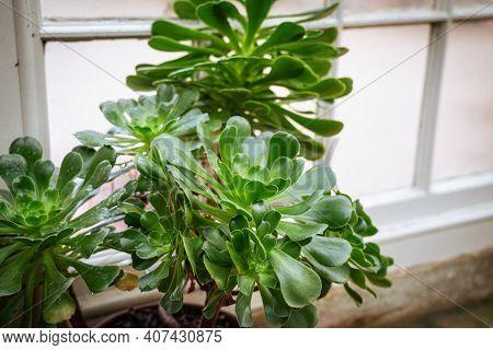 Big Green Succulent In A Pot Standing In Indoor Conservatory Or Garden. Selective Focus, Copy Space