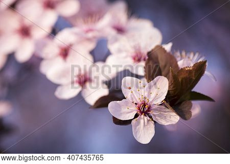 Beautiful Spring Flowers On Branch On Tree, Close-up.