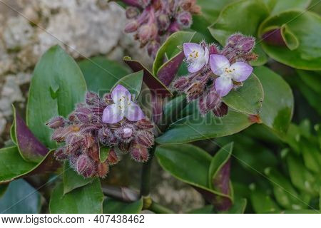 Tradescantia Cerinthoides Kunth Or Moss Inch Plant With Flowers Outdoors