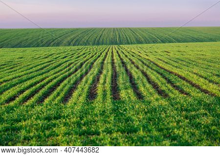 A Green Field With Rows Of Planted Wheat Agricultural Landscape With A Crop Growing Young Endless Pe