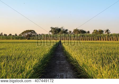 Landscape Rice Field Of Farmer. Close Up Of Yellow Paddy Rice Field With Green Leaf And Sunlight In