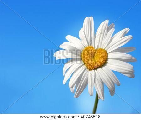 daisy in shape of a heart