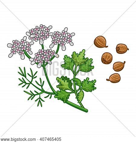 Coriander Vector Realistic Colored Fresh Botanical Illustration