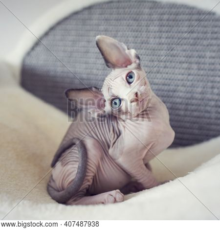 Hairless Kitten With Big Blue Eyes Looks Around. Portrait Sphynx Young Cat In Scratcher For Cats. Na