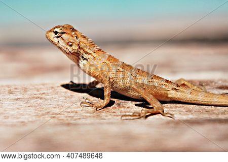 Tropical Oriental Garden Lizard Female Close-up On A Blurred Background, Eastern Garden Lizard, Bloo