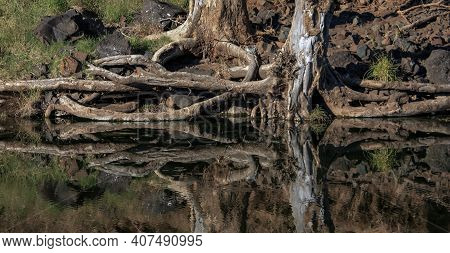 Roots And Trunks Of Old Trees Are Reflected In The Dark Water. A Steep Lake Shore With A Reflection
