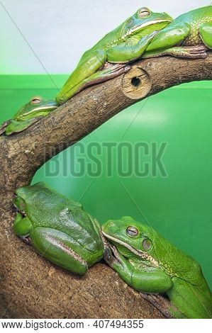 Australian Tree Frogs Or Litoria, Genus Of Tailless Amphibians From Tree Frog Family