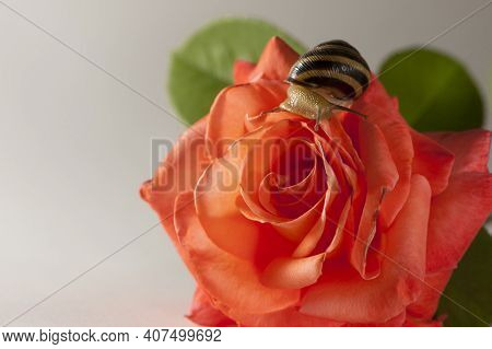 Striped Snail Cepaea. Small Snail Sits On A Beautiful Pink Delicate Rose Flower, On A Light Backgrou