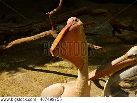 White Pelican With A Large Beak. The Endangered American White Pelican Pelecanus Erythrorhynchos. Cl