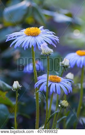 Blue Daisy. Flower Bed With Flowers Of Blue Daisies With A Yellow Center. Close-up, Blue Symphyotric