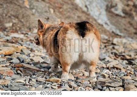 Welsh Corgi Pembroke Tricolor On Beach, Rear View Of Furry Butt. Charming Little Short Legged Britis