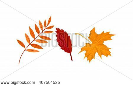 Bright Autumn Leaf With Fibres And Broad, Flat And Thin Surface Vector Set