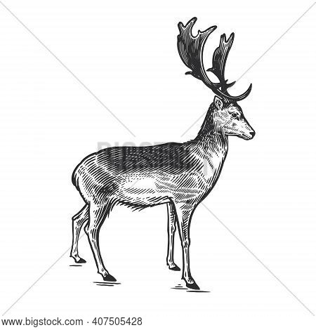 Forest Animal Deer. Hand Drawing Sketch Black Ink Isolated On White Background. Vector Art Illustrat