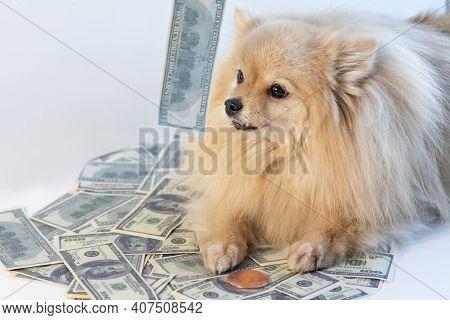 Little Greedy Dog And Cash, Pomeranian Spitz Puppy Lying On Money, Bills, Banknotes Of One Hundred U