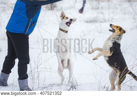 Mixed Breed White And Black Dogs Standing On Hind Legs Trying To Catch Up Rope In Master's Hand Whil
