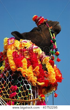 Decorated camel at Pushkar fair in Thar deser? ,Rajasthan, India poster
