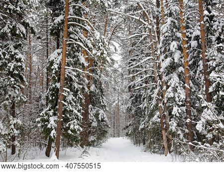 Walking Path In The Coniferous Winter Forest