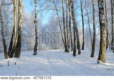 Picturesque Birch Grove In Hoarfrost, Beautiful Winter Landscape