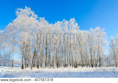 Birch Grove In Hoarfrost On Clear Sunny Day, Beautiful Winter Landscape
