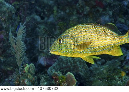 Blue Striped Grunt Swimming Over The Coral Reef