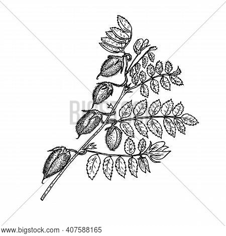 Plant With Chickpea Fruits. Growing Peas. Ripening Beans In Vintage Style. Monochrome Style.