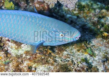 A Striped Parrotfish Swimming Across The Reef
