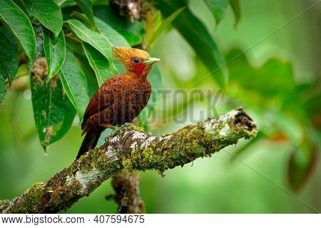 Chestnut-colored Woodpecker - Celeus Castaneus Rufous Bird In The Family Picidae, Found In Belize, C