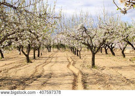 Almond Tree Flowers In Bloom Under Blue Sky