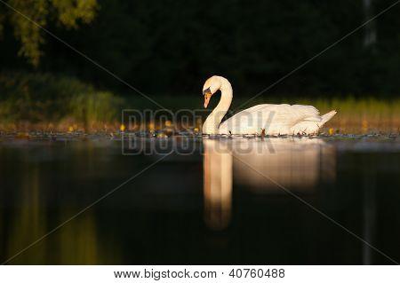 Sleepy mute swan on lake in summer poster