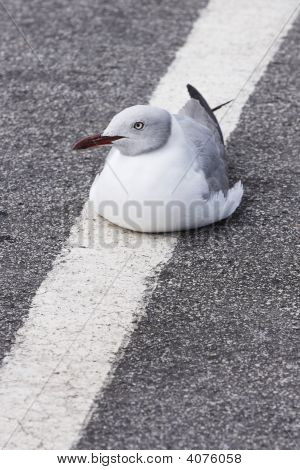 Seagull On A White Line